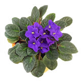 Violette africaine saintpaulia photo stock image du for Violette africane