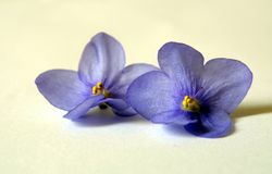 Saintpaulia flowers. Of blue color Stock Photography