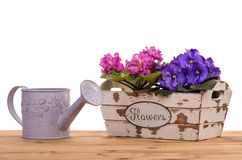 Saintpaulia  flowers in the wooden decorative box isolated. Saintpaulia  flowers in the wooden decorative box isolated on the white background Stock Photography