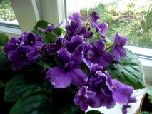Saintpaulia home violeta Cidade de Stavropol 2018 imagens de stock royalty free