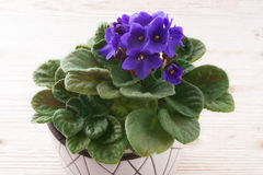 Saintpaulia ionantha Royalty Free Stock Image