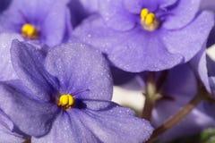 Saintpaulia Ionantha of Afrikaanse Violet Flowers Stock Foto