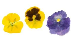 Saintpaulia pressionado e secado da flor, isolado Fotos de Stock