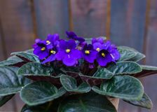 Saintpaulia,Purple African violet in a flowerpot on the background of wood planks.  royalty free stock photography