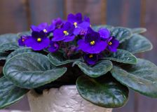 Saintpaulia,Purple African violet in a flowerpot on the background of wood planks royalty free stock photos