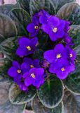 Saintpaulia,Purple African violet in a flowerpot on the background of wood planks.  royalty free stock image