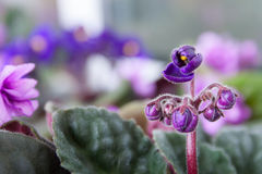 Saintpaulia Purple Flower Blossoming Stock Image