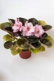 Saintpaulia rozmaitość EC - Morelowy szyfon E Korshunova z pięknymi różowymi kwiatami Obrazy Royalty Free