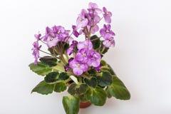 Saintpaulia varieties Galaxy L.Hale . Beautiful violet with purple flowers. Royalty Free Stock Images