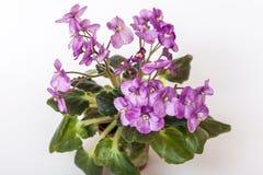 Saintpaulia varieties Galaxy L.Hale . Beautiful violet with purple flowers. Stock Image