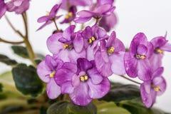 Saintpaulia varieties Galaxy L.Hale . Beautiful violet with purple flowers. Close-up Royalty Free Stock Image
