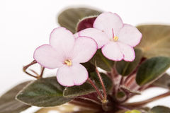 Saintpaulia varieties H-Thumbelina N.Berdnikova . Beautiful violet with light pink flowers a red border. Close-up. Saintpaulia varieties H-Thumbelina N Stock Image