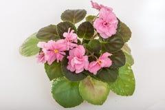 Saintpaulia varieties JAN-Katusha N.Puminova with beautiful pink flowers. Stock Images