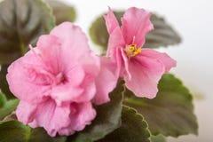 Saintpaulia varieties JAN-Katusha N.Puminova with beautiful pink flowers. Close-up. Stock Photos