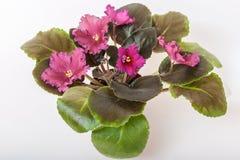 Saintpaulia varieties LE - Rubin Mughal E.Lebetskaya with beautiful red flowers. Royalty Free Stock Images