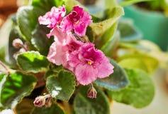 Saintpaulia varieties Rosie Ruffles D.Harrington with beautiful pink flowers. Close-up Stock Photos