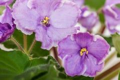 Saintpaulia varieties Sonata-Mail N.Solodkaya with beautiful light purple flowers. Close-up. Stock Photography