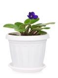 Saintpaulia violet Stock Photo