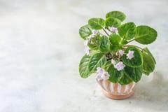 Saintpaulias de florescência, conhecidos geralmente como a violeta africana Mini Potted Plant fotos de stock
