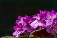 Saintpaulias de florescência, conhecidos geralmente como a violeta africana Mini Potted Plant um fundo escuro Foto de Stock