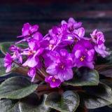 Saintpaulias de florescência, conhecidos geralmente como a violeta africana Mini Potted Plant um fundo escuro Imagem de Stock