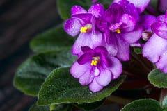Saintpaulias de florescência, conhecidos geralmente como a violeta africana Mini Potted Plant um fundo escuro Imagem de Stock Royalty Free