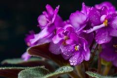 Saintpaulias de florescência, conhecidos geralmente como a violeta africana Mini Potted Plant um fundo escuro Fotografia de Stock Royalty Free