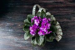 Saintpaulias de florescência, conhecidos geralmente como a violeta africana Mini Potted Plant um fundo escuro Imagens de Stock
