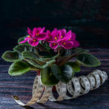 Saintpaulias fleurissants, généralement connus sous le nom de violette africaine Mini Potted Plant un fond foncé Foyer sélectif Image libre de droits