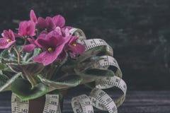 Saintpaulias fleurissants, généralement connus sous le nom de violette africaine Mini Potted Plant un fond foncé Foyer sélectif Photos stock