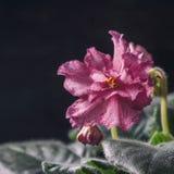 Saintpaulias florecientes, conocidos comúnmente como violeta africana Mini Potted Plant un fondo oscuro Fotografía de archivo libre de regalías