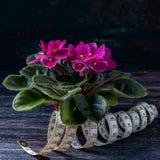 Saintpaulias florecientes, conocidos comúnmente como violeta africana Mini Potted Plant un fondo oscuro Foco selectivo Imagen de archivo libre de regalías