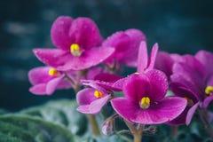 Saintpaulias florecientes, conocidos comúnmente como violeta africana Mini Potted Plant un fondo oscuro Foco selectivo Imagen de archivo