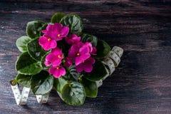Saintpaulias florecientes, conocidos comúnmente como violeta africana Mini Potted Plant un fondo oscuro Foco selectivo Imágenes de archivo libres de regalías