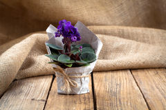 Saintpaulias flowers in paper packaging Royalty Free Stock Photography