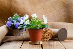 Saintpaulias flowers in paper packaging Stock Image