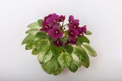 SaintpauliavariationsJolly Jubilee H pittman Härliga stora rödbruna blommor smyckar en houseplant royaltyfri bild