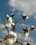 Saison 3 de coton Photos libres de droits