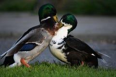 Saison d'accouplement, ces canards luttent pour le canard femelle photos stock