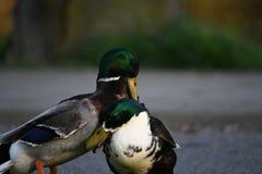 Saison d'accouplement, ces canards luttent pour le canard femelle photo libre de droits