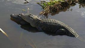 Saison d'accouplement de crocodile banque de vidéos