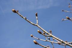Saison de bourgeons au printemps images stock