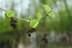Saison de branche de glutinosa d'Alnus au printemps Photographie stock libre de droits