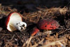 Saison de champignon photographie stock libre de droits