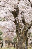 Saison de fleurs de cerisier à Nara photo stock