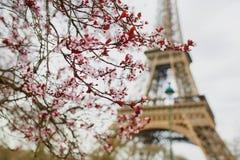 Saison de fleurs de cerisier à Paris, France photographie stock libre de droits
