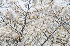 Saison de fleurs de cerisier au Japon Photographie stock libre de droits
