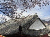 saison de fleurs de cerisier dans le temple Image libre de droits