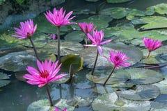 Saison de floraison de nénuphar avec de belles fleurs pourpres photographie stock