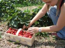 Saison de fraise Image libre de droits